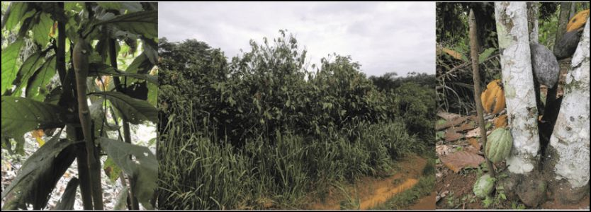 Bridging the Information Gap in Cocoa Production
