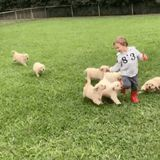 This Little Boy Got Tackled by a Pack of 9 Golden Retrievers Puppies, and Me Next, Please!