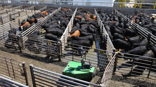 Cargill Tests Robotic Cattle Driver As A Way To Improve Worker Safety