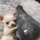 A Pigeon Who Can't Fly and a Puppy Who Can't Walk Are 2020's Cutest Friendship Duo Yet