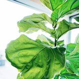 Pssst! Here's the Best Place to Score a Trendy Fiddle Leaf Fig Tree For Cheap