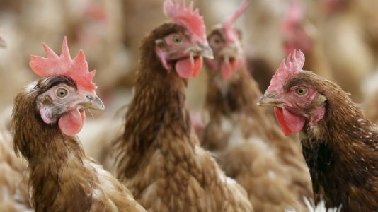 'Big Chicken' Connects Poultry Farming To Antibiotic-Resistant Bacteria