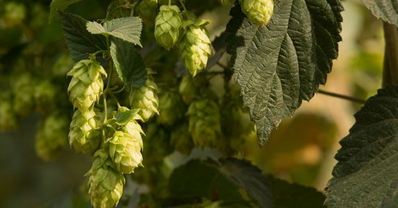 The Homebrewer's Guide to Dry-Hopping