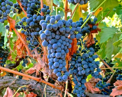 This weekend's 4th Annual Tour of Tempranillo celebrates the ease of growing this Spanish grape in Lodi terroirs