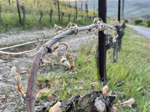 """Frost even in Sardinia."" Reports of widespread damage as Italian winemakers assess impact from spring freeze"