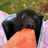 This Video of a Baby Bat Chowing Down on Watermelon Is Equal Parts Spooky and Cute