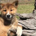 Anheuser-Busch InBev's Golden Road and 4 Pines Beer Collaborate on Dingo Pup Hazy Pale Ale to Honor Purebred Pup Found in Australia