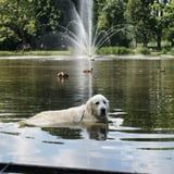 I'm Absolutely Cackling Over This Golden Retriever Who Refuses to Leave the Duck Pond