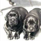 If These 27 Photos of Labrador Puppies Don't Bring a Smile to Your Face, Nothing Will