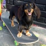 I Got Nothing Done Today Because I Can't Stop Watching This Skateboarding Dachshund