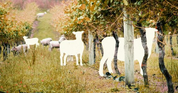 An Entire Flock of Sheep Was Stolen From Moët & Chandon's Eco-Vineyard
