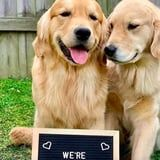 This Golden Retriever Couple is Expecting Puppies, and OMG, They Have an Announcement Sign!