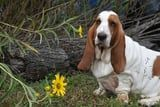 We Can't Stop Howling Over These 40+ Adorable Basset Hounds