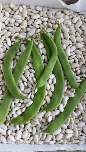 """Dutch"" Case-knife Beans: A Taste of History©"