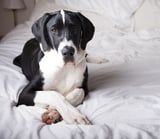40+ Cute Pics of Great Danes That Prove They're Just Big Old Softies