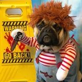 This Frenchie Dressed as Chucky Somehow Manages to Be Both Terrifying and Adorable