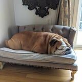 I've Never Been More Jealous Than I Am of This Bulldog Who Loafs Around All Day