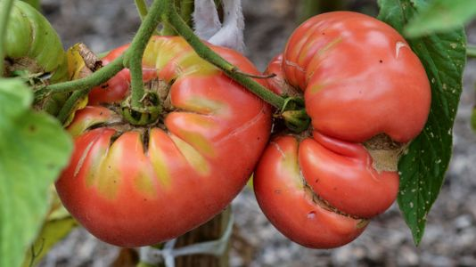 Fearing Shortages, People Are Planting More Vegetable Gardens