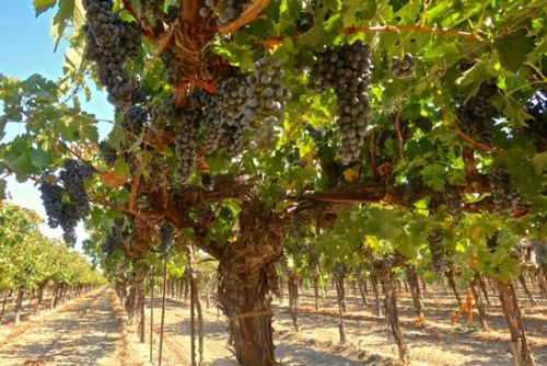 The red Bordeaux grapes of Lodi