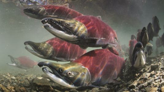 Government Scientists Say A Controversial Pesticide Is Killing Endangered Salmon