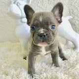 23 Photos of Frenchie Puppies That Are So Cute - *Takes Breath* - I Need a Minute