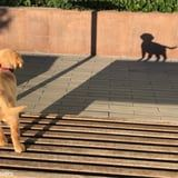 This Golden Retriever Puppy Is Ready to Take on Her Own Shadow, and Get 'Em, Girl!