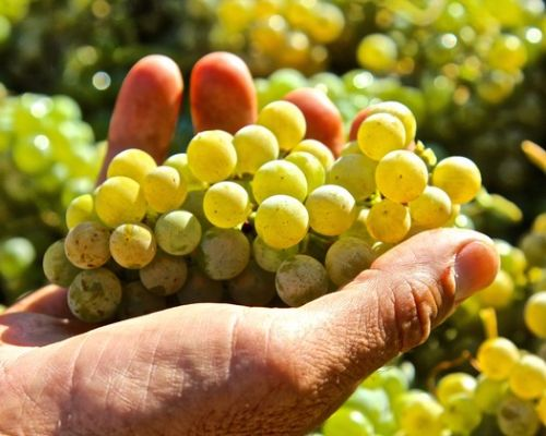 Bokisch Vineyards demonstrates impact of terroir on grapes