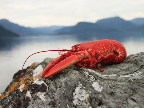 Maine Health Department Proves to Be Total Buzzkill for Stoned Lobsters