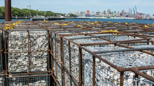 Oysters On The Half Shell Are Actually Saving New York's Eroding Harbor