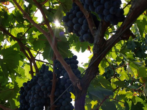 It's time to change a racially insensitive Italian grape name