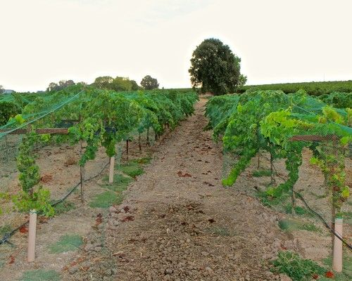 California's first Mencía just released by Lodi's PRIE Winery