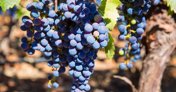 The Foundation of Chilean Wine, From Grape to Glass