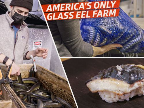 How America's Only Farmed Glass Eels Are Raised in Maine