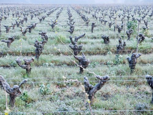 French Wine Makers Liken Widespread Vine Damage to 'the Loss of a Family Member'