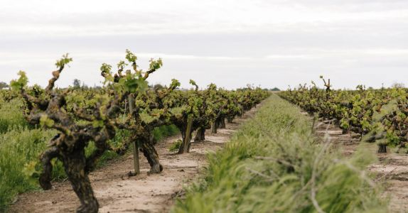 How Old Vines Put California's Lodi on the World Wine Map